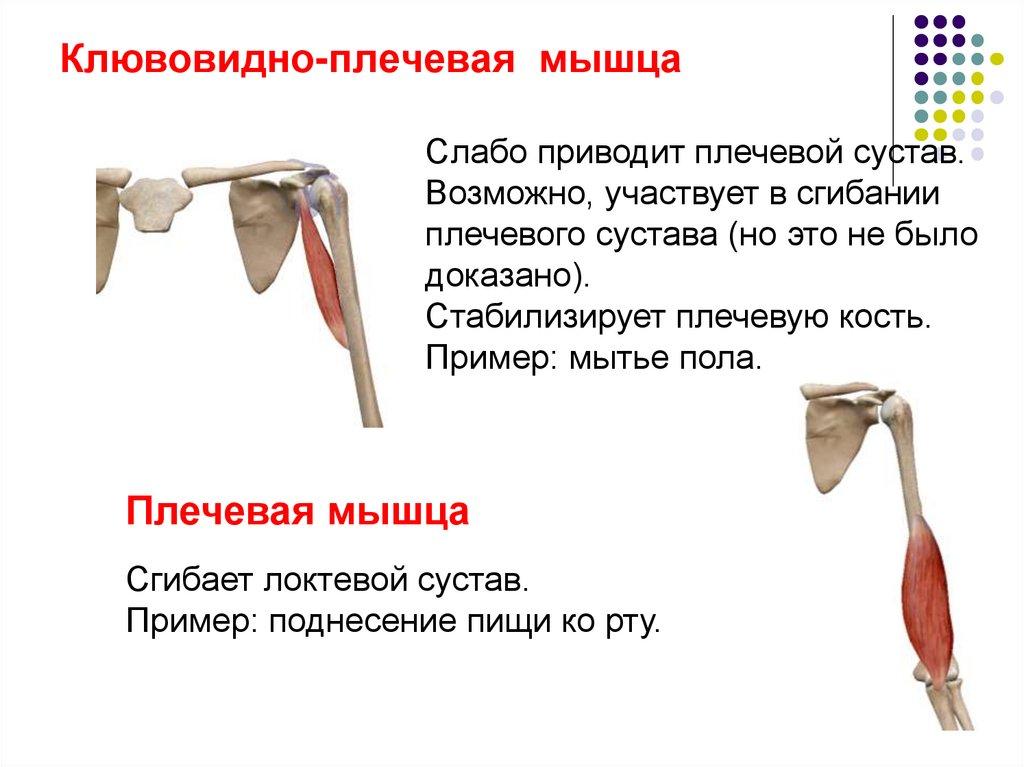 Мышцы плечевого пояса: строение и функции