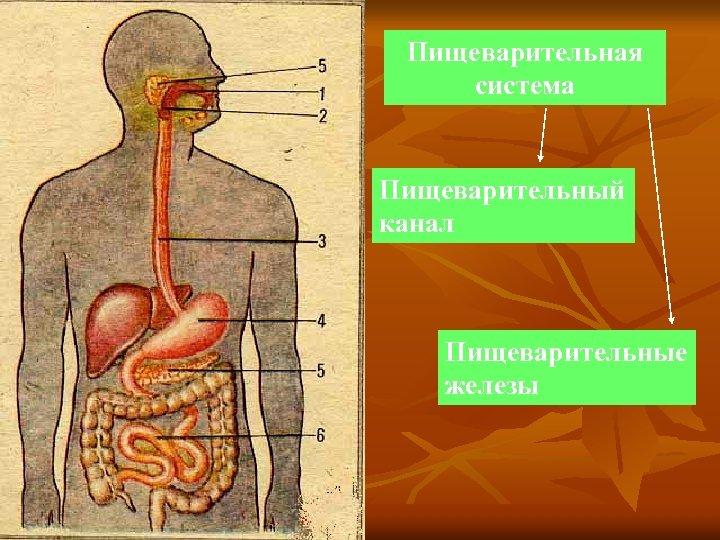 Как устроена система пищеварения и происходит переваривание пищи в организме человека?