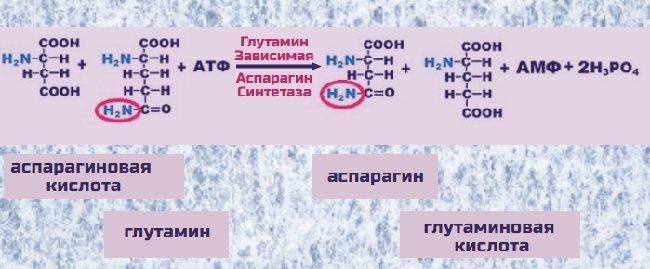 Потребность и источники аспарагиновой кислоты