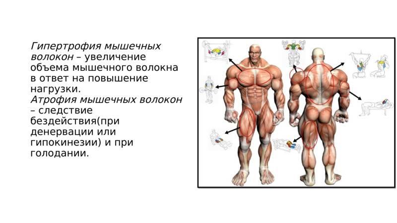 Как добиться в процессе тренировок гипертрофии мышц?