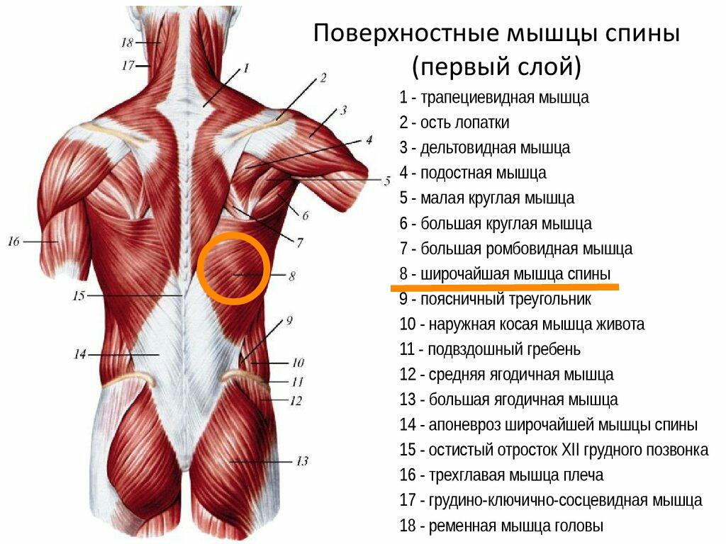 Разгибатели спины - анатомия, упражнения