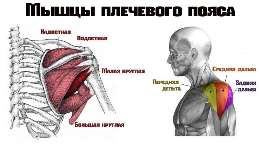 Плечевой сустав: анатомия, строение, мышцы и связки плеча