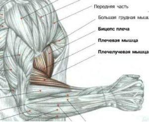 Плечелучевая мышца: как накачать брахиорадиалис - wikimedinform.ru