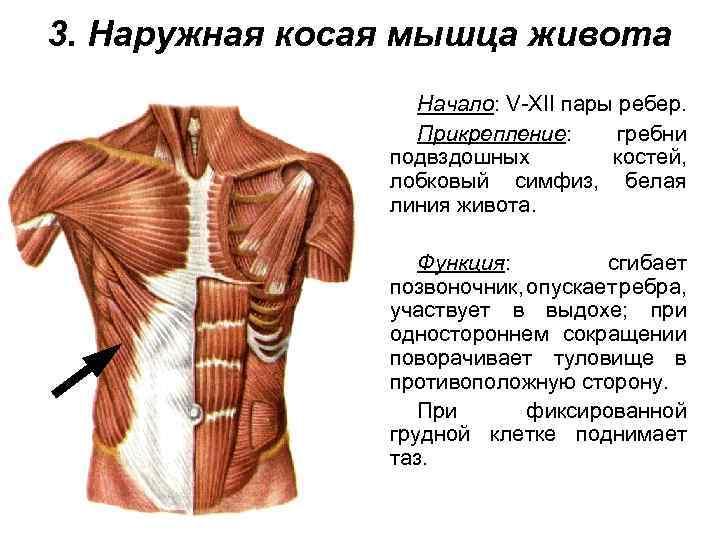 Как тренировать поперечную мышцу живота— лучшие упражнения