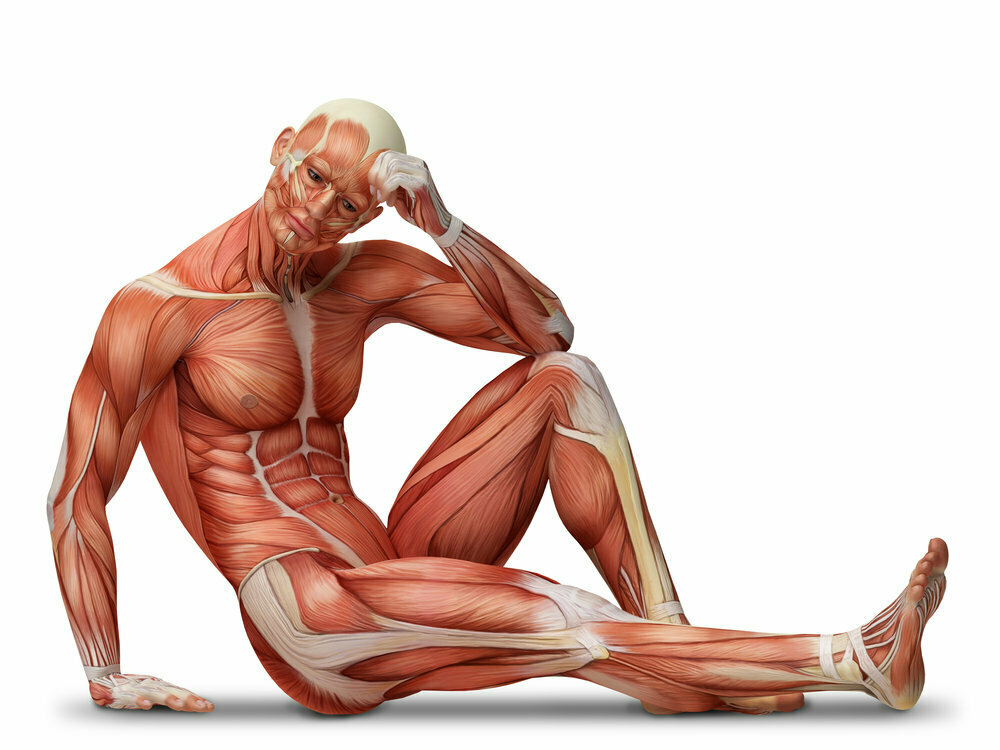 Типы мышечных волокон! какие бывают мышечные волокна