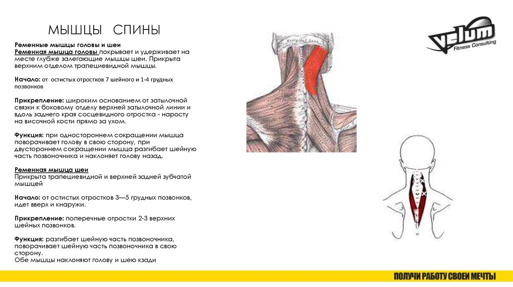 Какую роль для организма выполняет ременная мышца шеи? | анатомия к чему прикрепляется ременная мышца шеи? | анатомия