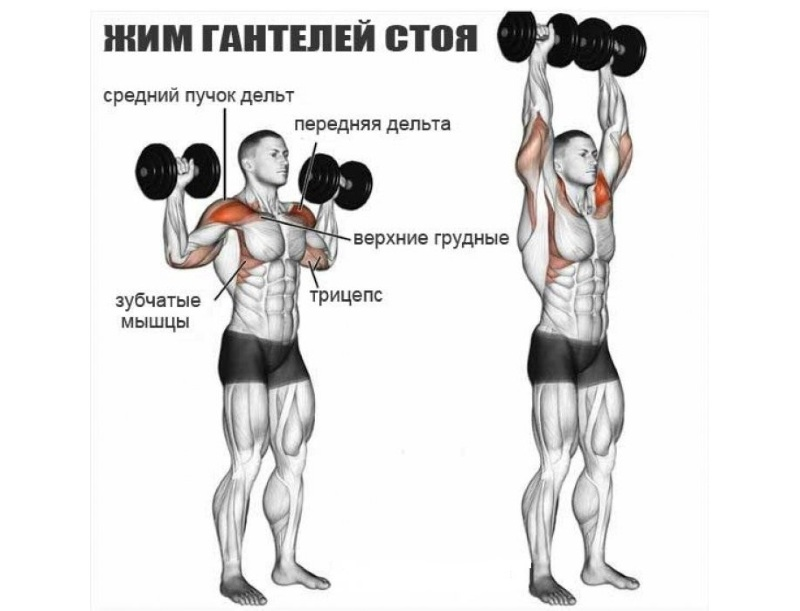 Жим гантелей стоя: работающие мышцы и техника выполнения жима вверх стоя