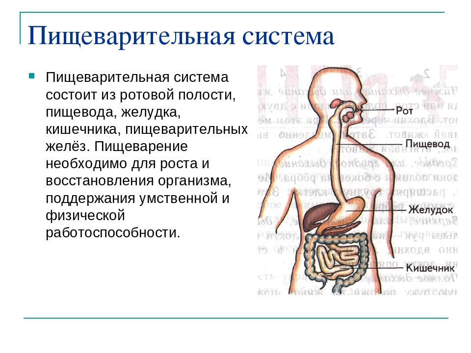 Как происходит пищеварение в организме