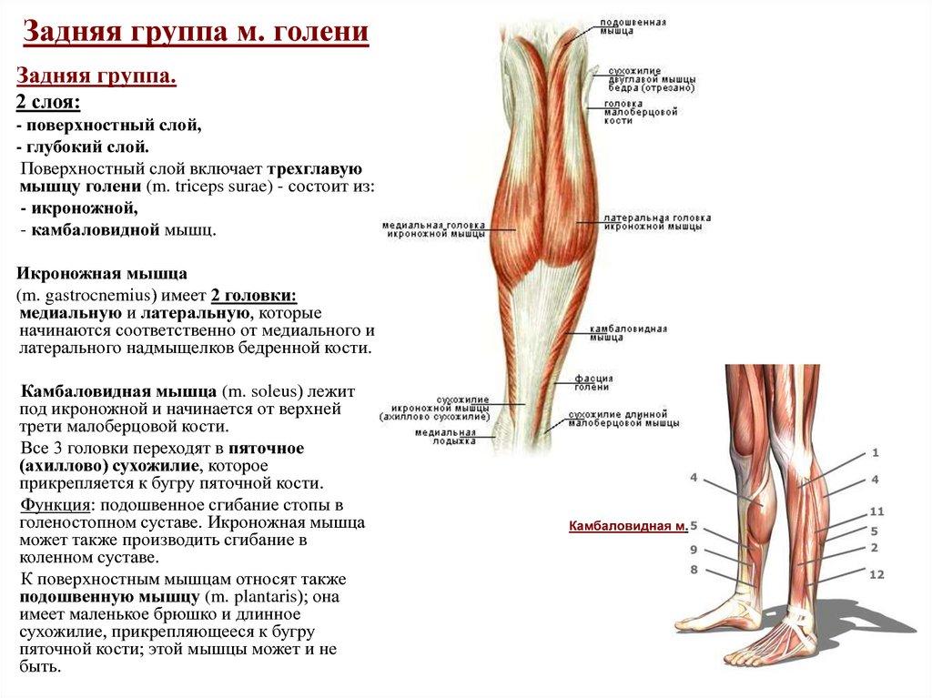 Где находится камбаловидная мышца, ее функции, почему она может болеть и как с этим бороться