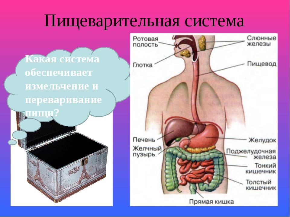 Какие органы участвуют в пищеварении?