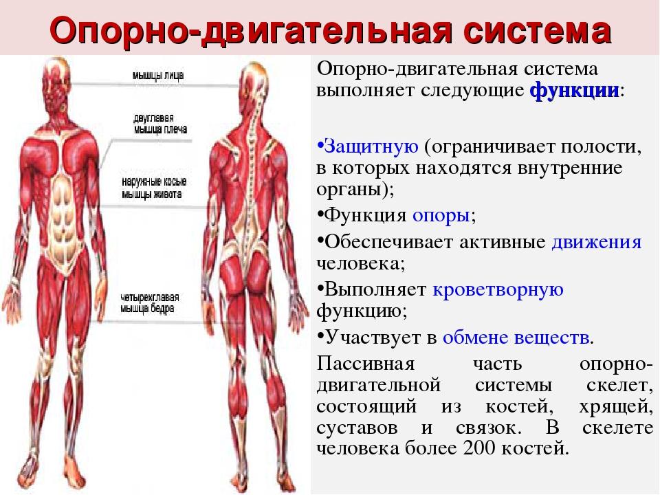 Как растут мышцы после тренировки у спортсменов: физиология и принципы роста