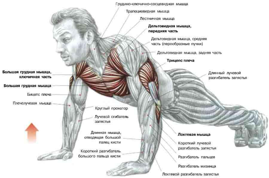 Обратные отжимания — sportfito — сайт о спорте и здоровом образе жизни