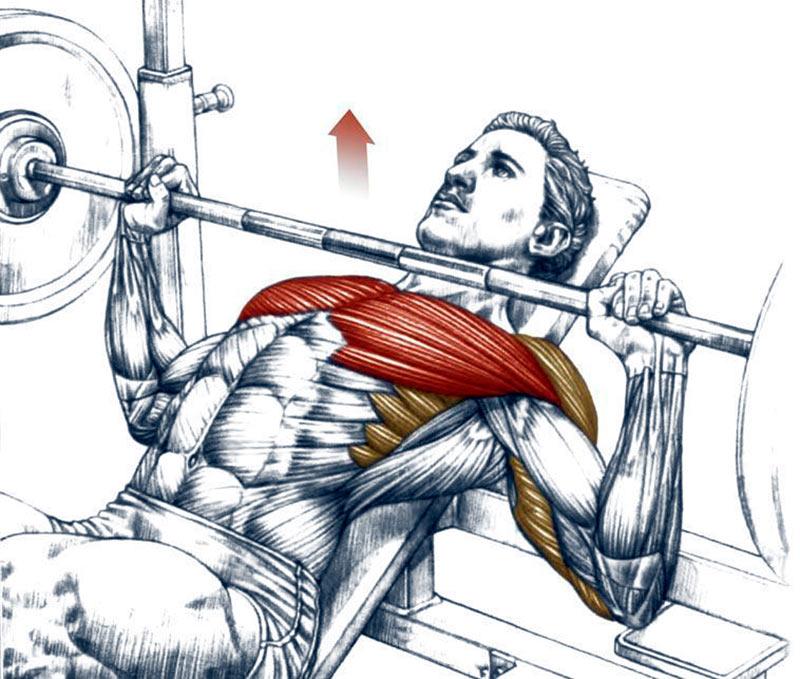 Жим штанги на наклонной скамье: техника и важные нюансы упражнения | rulebody.ru — правила тела