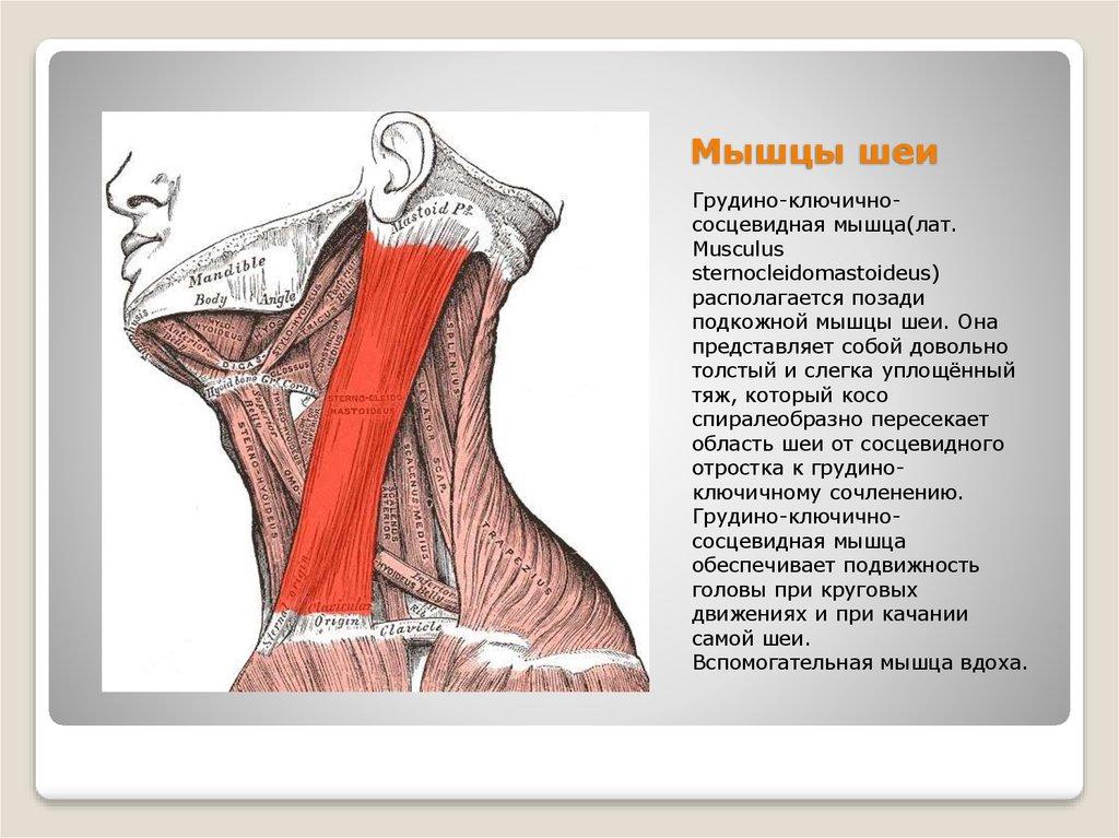 Упражнения для развития мышц шеи в домашних условиях быстро