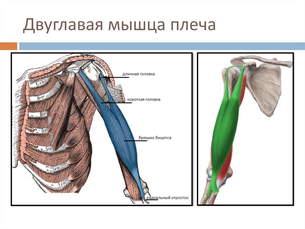Мышцы руки анатомия: плюс самые эффективные упражнения для их накачки