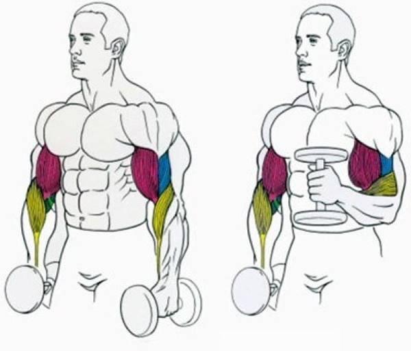 Подъем гантелей перед собой: качаем плечи с помощью эффективных упражнений в тренажерном зале и домашних условиях, техника выполнения и распространенные ошибки
