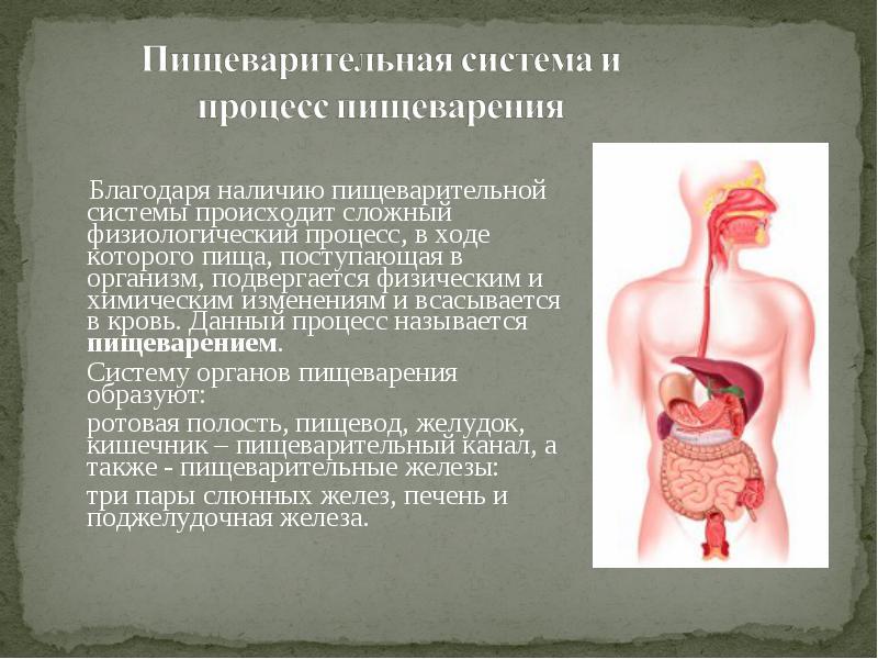 Пищеварительная система: строение, значение, функции