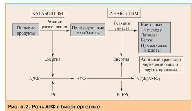 Обмен веществ — анаболизм, катаболизм, скорость метаболизма в зависимости от саматотипа и факторы влияющие на скорость обмена веществ