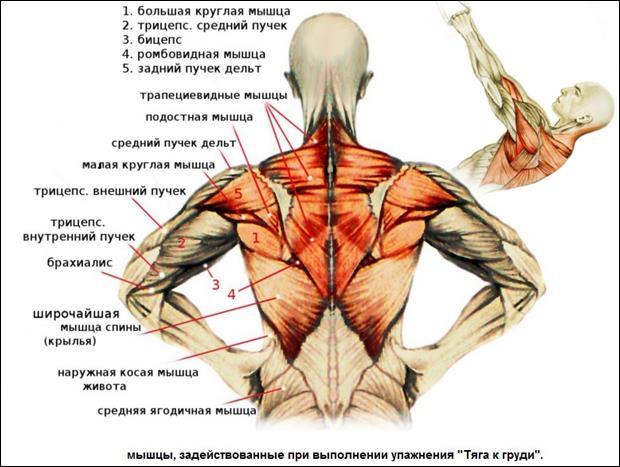 Мышцы разгибатели спины: анатомия и лучшие упражнения - все о суставах