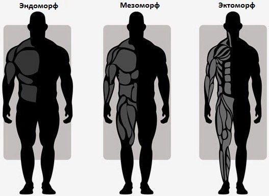 Соматипы человека: чем отличаются эктоморф, мезоморф и эндоморф?
