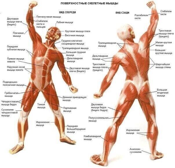 Как растут мышцы, и какова роль питания в этом процессе? - спорт и здоровый образ жизни - культура, спорт, отдых - жизнь в москве - молнет.ru
