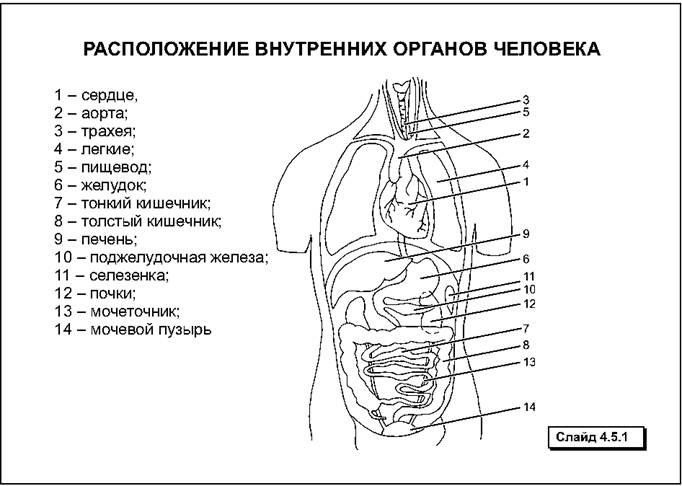 Что находится слева в животе: анатомия человека, внутренние органы и возможные болезни