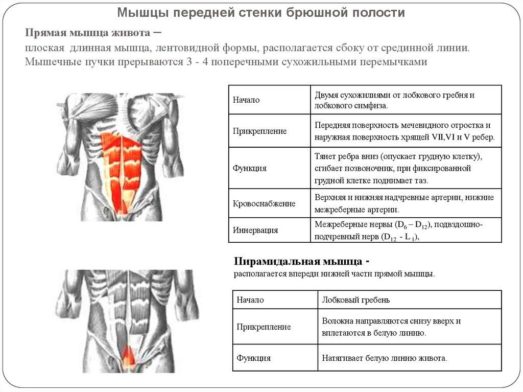 Прямая мышца живота человека | анатомия прямой мышцы живота, строение, функции, картинки на eurolab