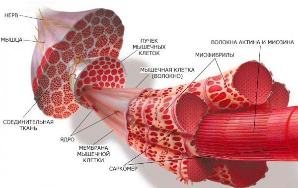 Строение мышц и типы мышечных волокон » спортивный мурманск