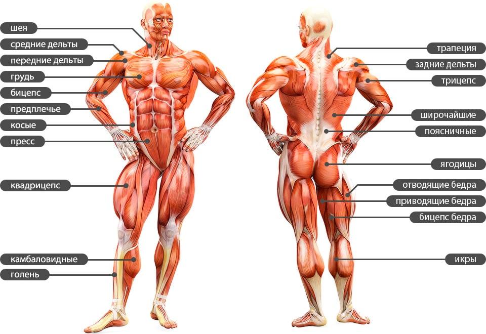 Упражнения и мышцы. тренажёрный зал.энциклопедия тренажёрного зала.  