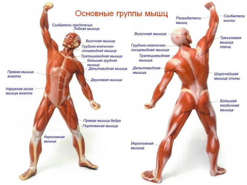 Гипертрофия мышц человека – как наши мышцы растут?