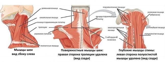 Главная мышца боли — где именно нужно массировать, чтобы перестала болеть голова?