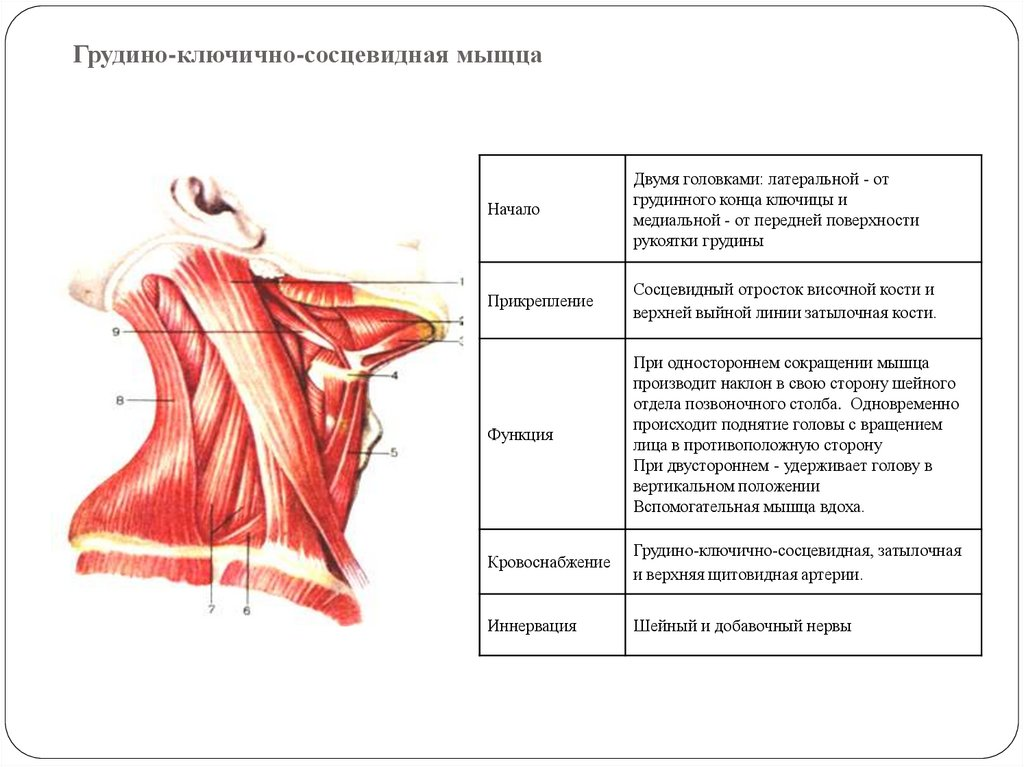 Грудино-ключично-сосцевидная мышца - люблю жить!