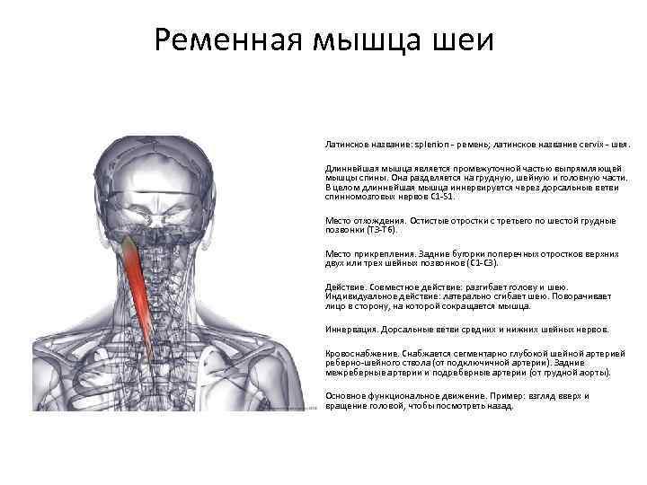 Ременная мышца шеи и головы