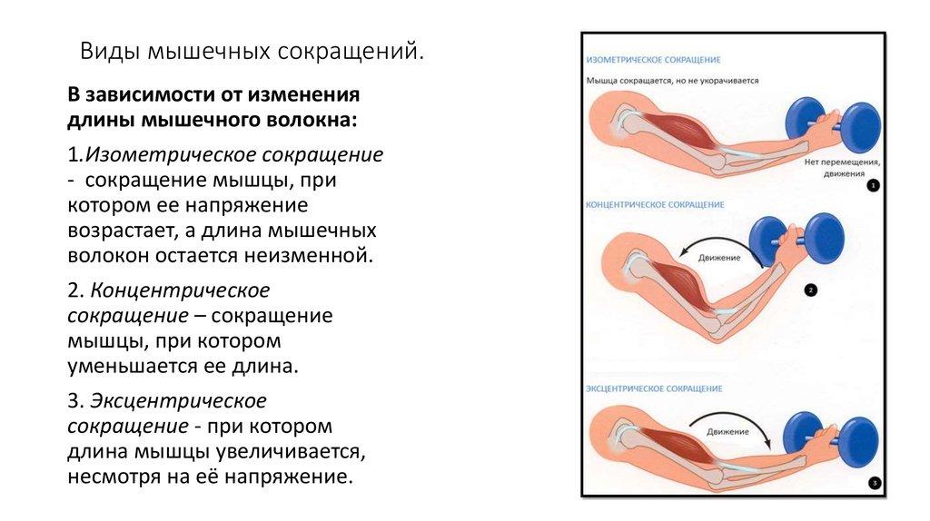 Факты о мышечном росте