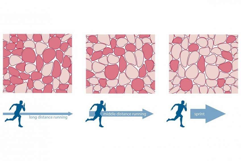 Типы мышечных волокон: бмв и ммв, их тренинг и сочетание! в домашних условиях | для девушек и мужчин