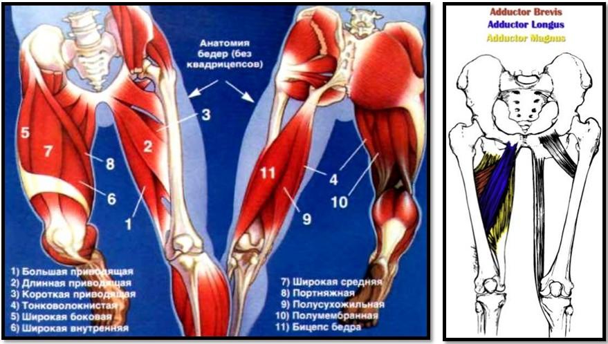 Приводящие мышцы бедра: анатомия и упражнения для аддукторов бедра