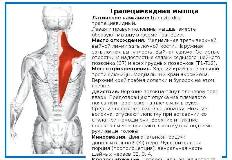 Лучшие упражнения для развития трапециевидных мышц
