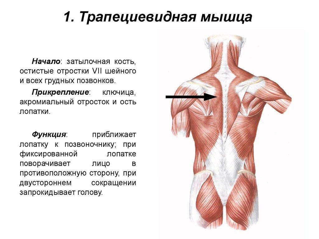 Упражнения на трапецию с гантелями: советы тренера - tony.ru