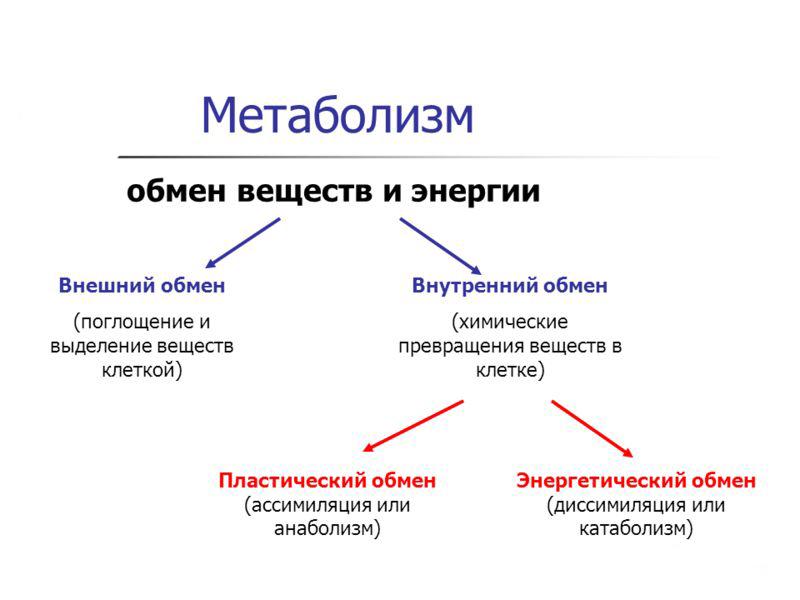 Что такое метаболизм (обмен веществ) в организме человека