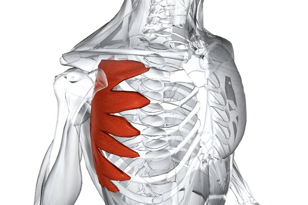 Анатомия мышц спины. разбор всех мышц и + 8 упражнений для их развития