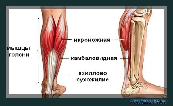 Мышцы торса: таблица функций и строения туловища человека, лучшие упражнения