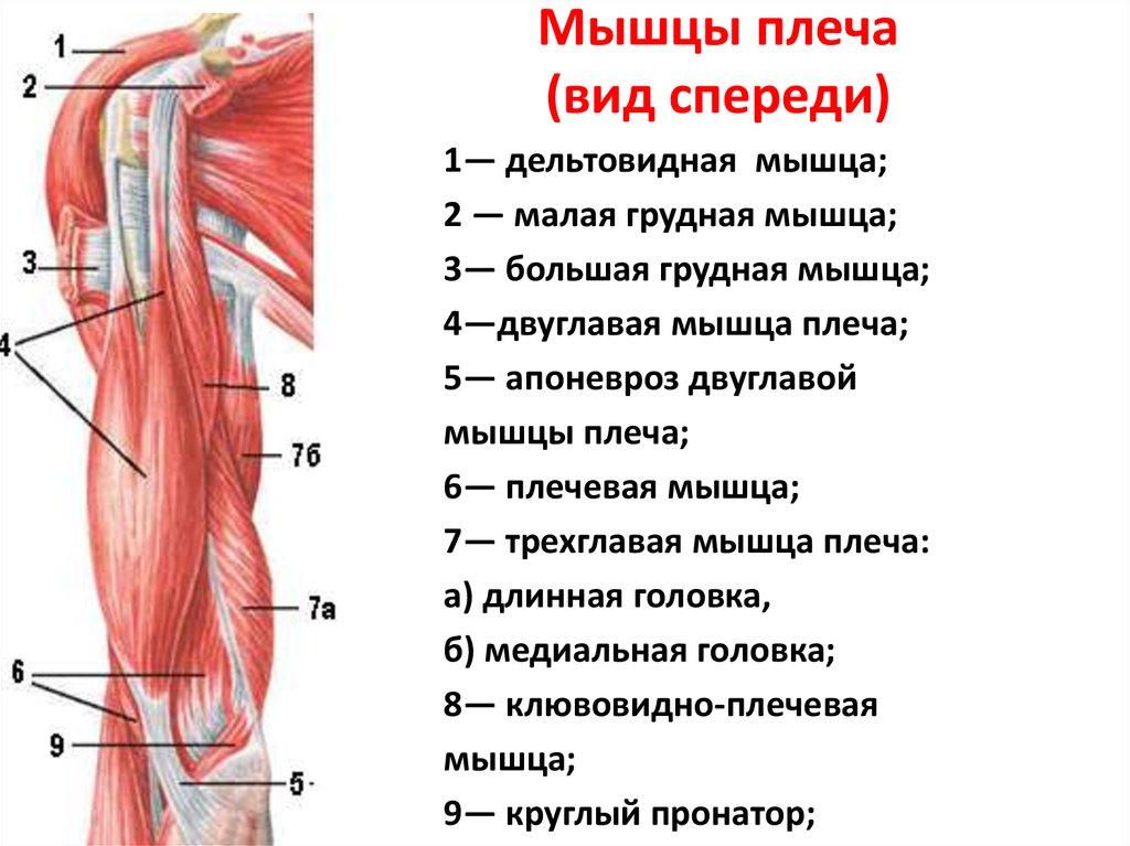 Анатомия и строение мышц спины + топ лучших упражнений