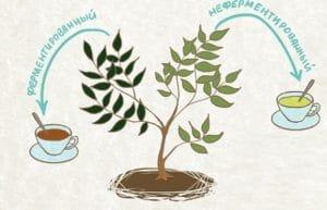 Польза зелёного чая для  для здоровья мужчин и женщин, для похудения. вреден ли зелёный чай для организма.