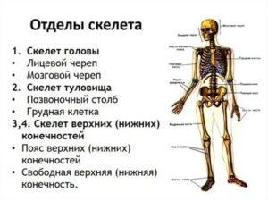 Самая твердая кость в организме человека. какая кость у человека самая прочная, а какая самая хрупкая? самая прочная кость в теле человека