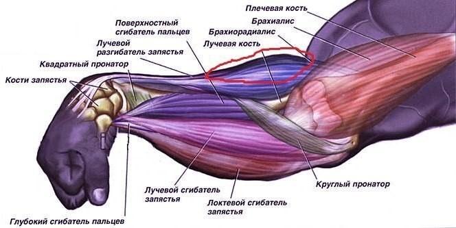 Почему болит плечелучевая мышца