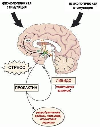 Гормон пролактин - что это такое, на что влияет, за что отвечает?
