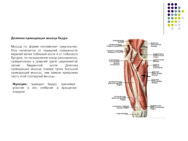 Тендинопатия приводящих мышц бедра | kinesiopro