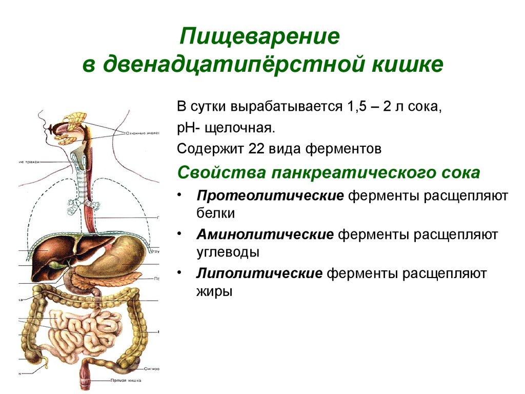 Процесс и время переваривания пищи в желудке человека.