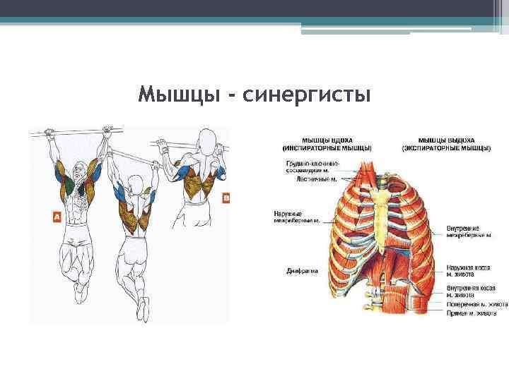Упражнения для мышцы-антагонистов особенности и примеры