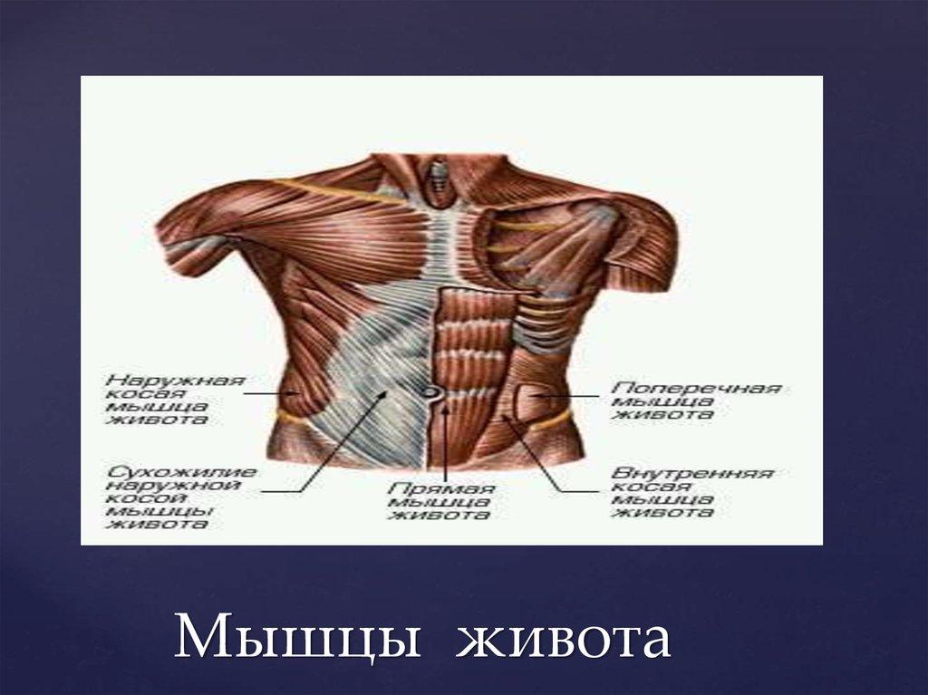 Мышцы живота – прямая, наружная косая, поперечная мышца живота